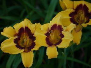 daylily always present