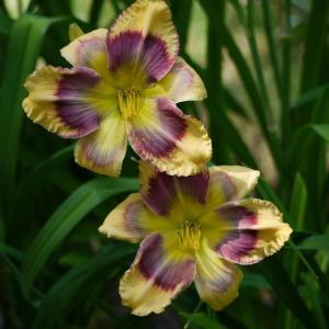 daylily fancy face