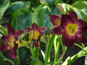 daylily joan derifield