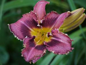 daylily love for Jesus
