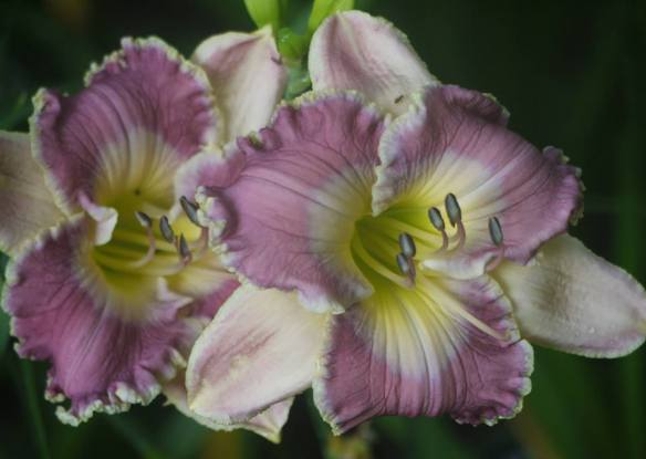daylily ring the bells of heaven