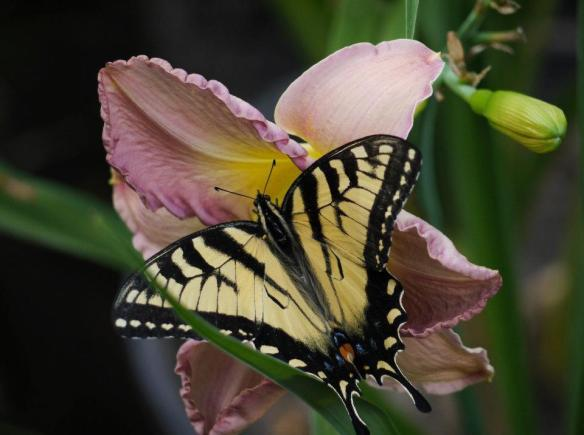 daylily with butterfly