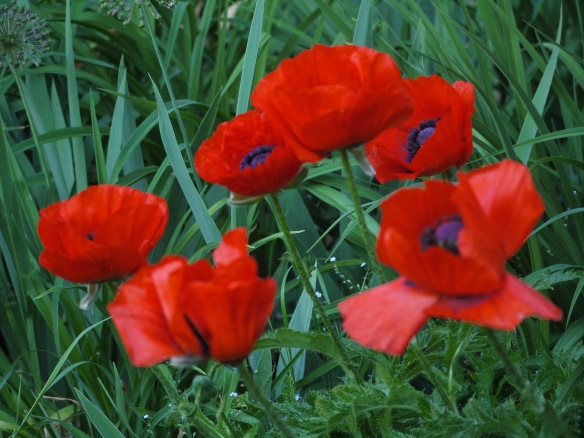 Papaver Orientale Poppies (2b)
